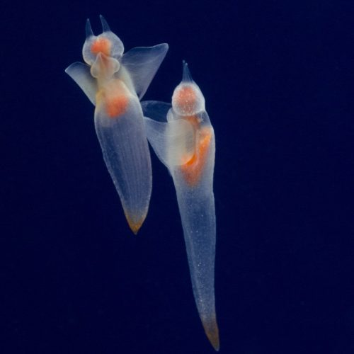 Cliones ( anges de mer )